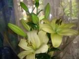 Восточные лилии!!!