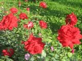 La Feeri de roses......