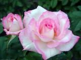 роза прелесть