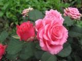 Розовые розы...ааааа!!!
