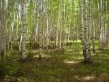 Березовая роща (граница Марий Эл и Кировской области)