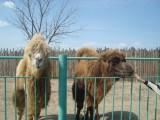 Астраханские верблюды