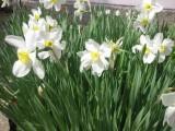 Нарциссы возле школы