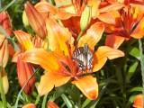 бабочка и лилия