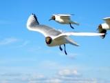 Чайки над Невой