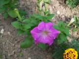 Петунья нашего сада