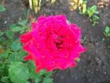Роза нашего сада
