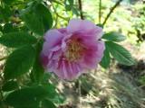 Роза,но уж очень колючая.