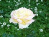 Кронштадтская роза