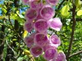 Наперстянка розовая