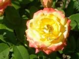 Расцвела в моем саду роза