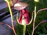 рождение розы