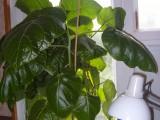 Цифомандры из семян
