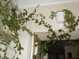 Плетистый кактус - перескийя