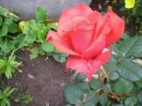 Красная роза - эмблема любви