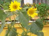 Приветливые солнышки