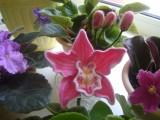 Розовая орхидея из шерсти среди живых фиалок