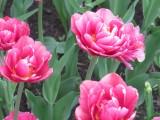 Колпинские тюльпаны