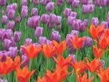 Колпинские тюльпаны-2010