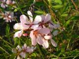 В степи цветет миндаль