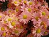 Красавицы хризантемы!