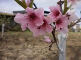 Персиков прекрасный цвет