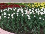 Тюльпаны в городе