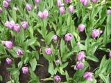 Тюльпаны в Летнем саду