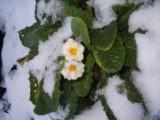 примула под снегом