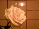 Роза под люстрой.