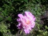 Нежный розовый.