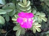 Лесная роза