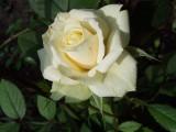 Роза шикарная