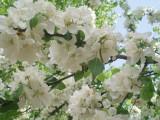 Рахманиново. Сады цветут