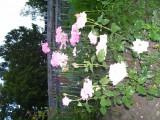 Потому и розы