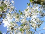 Облако в цвету вишни