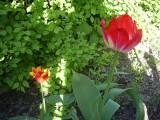 северный тюльпан
