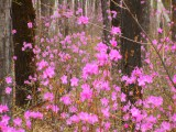 Багульник цветёт