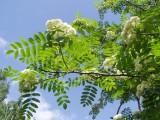 рябина цветет