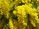 Цветёт МИМОЗА