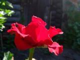 Роза утренняя.