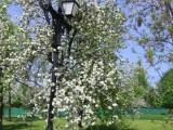 Цветущий фонарь