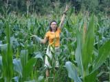 Какая большая выросла кукуруза!