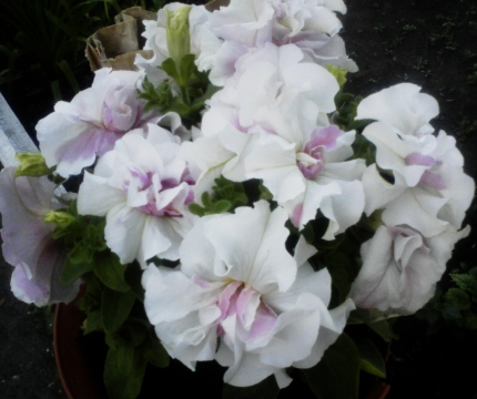 Петунья - Городские цветы
