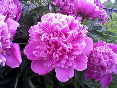 Пион - Городские цветы