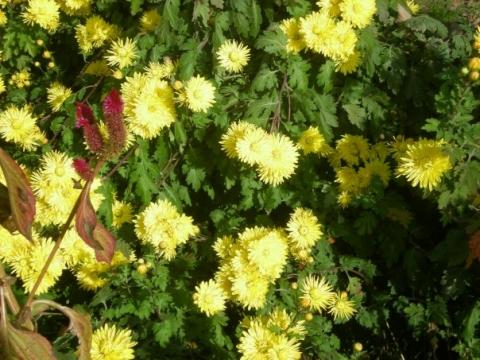 Солнечные хризантемы - Городские цветы