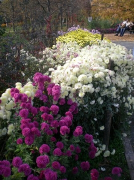 Море хризантем - Городские цветы