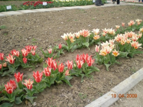Крымские тюльпаны - Городские цветы