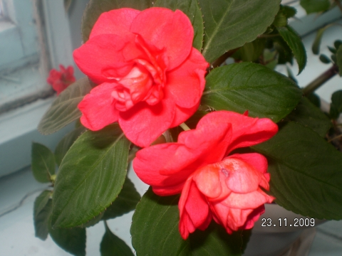 Ванька мокрый цветок мокрый уход в домашних условиях