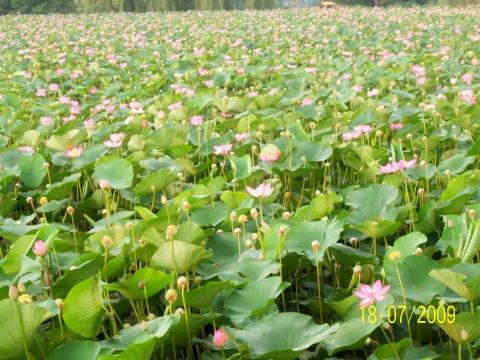 Озеро лотосов - Прекрасное рядом!